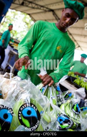Un lavoratore pacchetti fairtrade le banane in una piantagione di banane Immagini Stock
