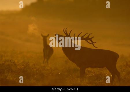 RED DEER Cervus elaphus un maschio adulto in silhouette ruggisce in alba la nebbia quando una femmina si erge nelle Immagini Stock