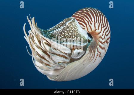 Deep sea creatura, Nautilus, Palau (Nautilus belauensis) Immagini Stock