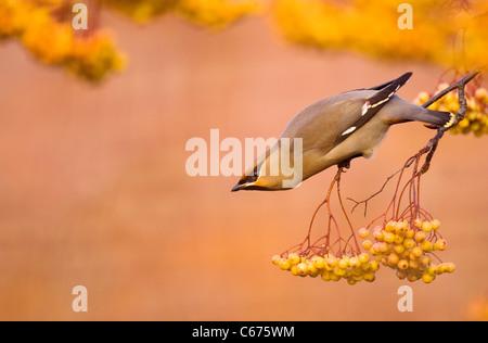 WAXWING Bombycilla garrulus un adulto arroccato su un distinto, varietà gialla di rowan Nottinghamshire, Regno Immagini Stock