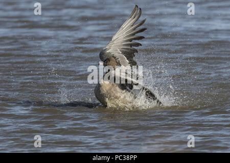 Pink footed Goose sbattere le ali come esso lava Immagini Stock