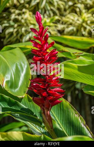 Alpinia purpurata, Hanalei, Hawaii, Kauai, Red Ginger Immagini Stock