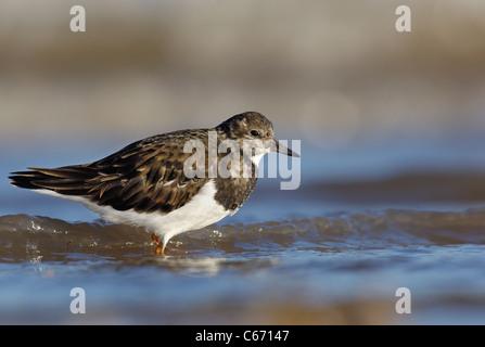 TURNSTONE Arenaria interpres un adulto in profilo in fondali costieri. Gennaio. Lincolnshire, Regno Unito fotografo.Andrew Immagini Stock