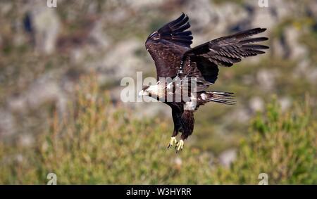 Spanish imperial eagle (Aquila adalberti) approccio di atterraggio, Castilla y Leon, Spagna Immagini Stock