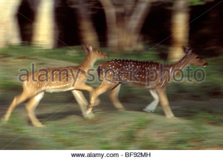 Chital acceso, asse asse, Bandipur National Park, i Ghati Occidentali, India Immagini Stock