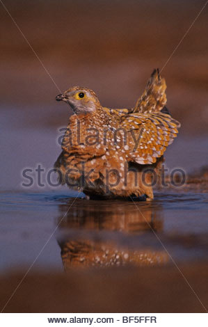 La Burchell sabbia grouse a waterhole, Pterocles burchelli, Botswana Immagini Stock