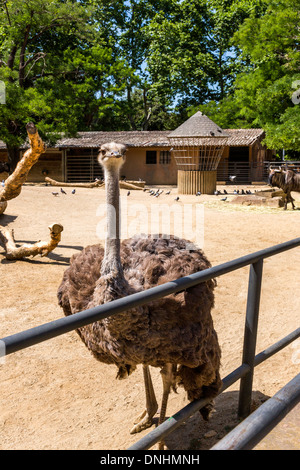 (Struzzo Struthio camelus) in uno zoo, allo Zoo di Barcellona, Barcellona, in Catalogna, Spagna Immagini Stock