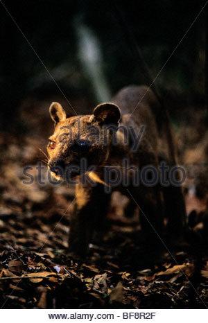 Fossa, Cryptoprocta ferox, Madagascar Immagini Stock
