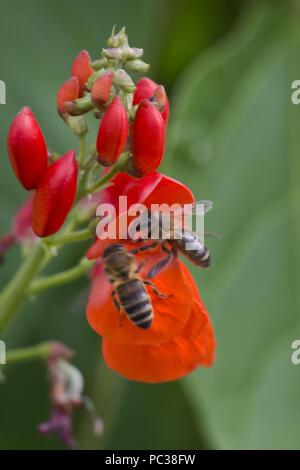 Api mellifere, Apis mellifera, rovistando sul luminoso rosso dei fiori di runner fagioli, Berkshire, Agosto Immagini Stock