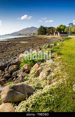 Irlanda, Co Louth, Omeath, bianco fiori selvatici sul Carlingford Lough a riva, vista verso Slieve Foye Immagini Stock