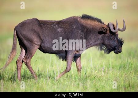 Nero gnu è sa anche come un bianco-tailed gnu.Essi sono endemiche per la parte meridionale dell'Africa. Immagini Stock