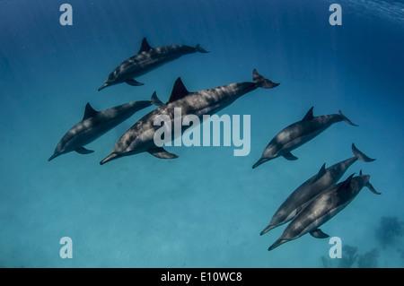 Una scuola di delfini comuni, Egitto (Delphinus delphis) Immagini Stock