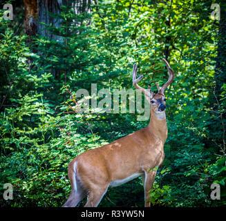Il Parco Nazionale di Glacier, Montana. White-tailed deer Immagini Stock