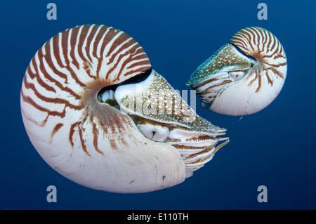 Coppia di Nautilus, Palau (Nautilus belauensis) Immagini Stock