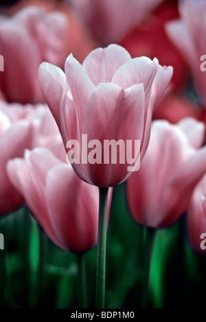 Holland Lisse, Keukenhof Tulip Garden Immagini Stock