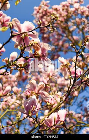 Fioritura rosa albero di magnolia in primavera. Immagini Stock