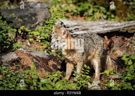 Il Parco Nazionale di Glacier, Montana. Gray Fox Immagini Stock