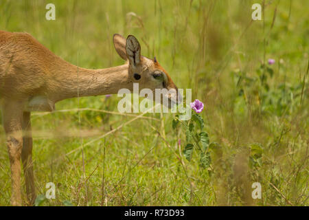 (Oribi Ourebia ourebi) antilope, Murchison Falls National Park, Uganda Immagini Stock