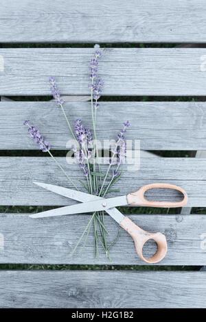 Fiori di lavanda e un paio di forbici sul tavolo da giardino. Vita tranquilla con vista dall'alto. Immagini Stock