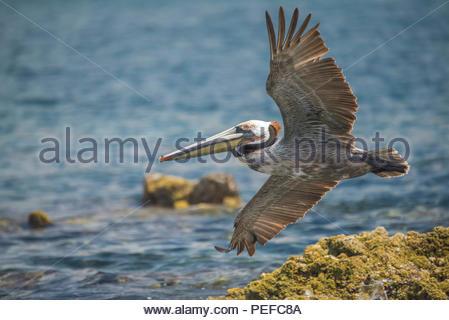 Un pellicano decolla da una roccia. Immagini Stock