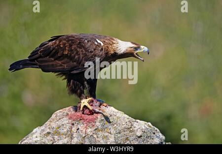 Spanish imperial eagle (Aquila adalberti), chiamando con i resti delle sue prede su una pietra, Castilla y Leon, Spagna Immagini Stock