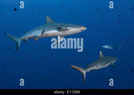 Lo squalo grigio di barriera ferito da coniugata (Carcharhinus amblyrhynchos) Immagini Stock