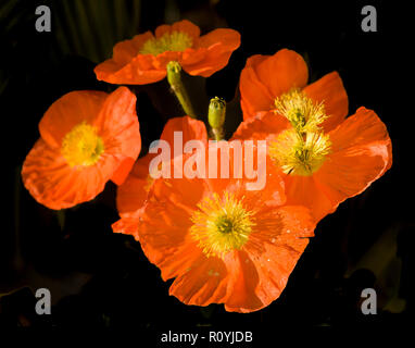 Orange poppies © Myrleen Pearson ...Ferguson Cate Immagini Stock