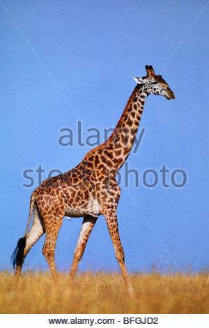 La giraffa, Giraffa camelopardalis tippelskirchi, riserva Masai Mara, Kenya Immagini Stock