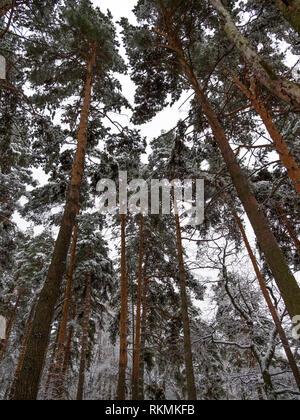Foresta invernale durante una nevicata sfondo naturale Immagini Stock