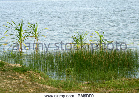 Un Tropicale scena dal lago VELLAYANI, Kerala Immagini Stock