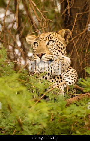 Leopard africana nella struttura ad albero con kill, Samburu Game Reserve, Kenya, Africa (Panthera pardus) Immagini Stock
