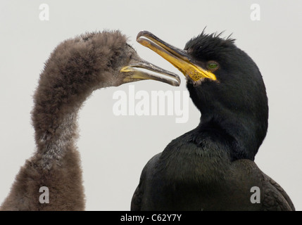Il marangone dal ciuffo Phalacrocorax aristotelis un adulto ed è in continua espansione chick contro un bianco Immagini Stock