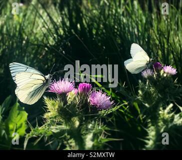 Farfalle bianco leccare sui fiori viola in Grazalema Cadiz, Spagna Immagini Stock
