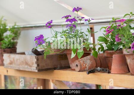 Fiori in un vaso su uno scaffale in una serra a flower show. Regno Unito Immagini Stock