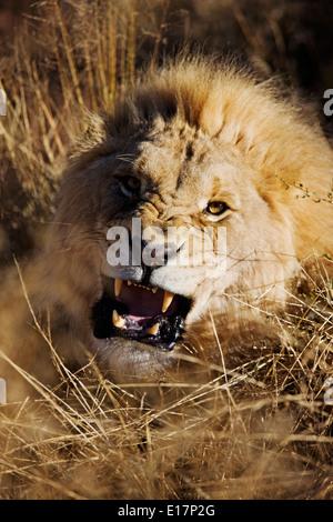 Maschio di carica Lion (Panthera leo) Namibia. Immagini Stock