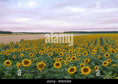 Girasoli crescono in campo a Stavropol Krai nel Nord Caucaso Distretto federale della Russia. Immagini Stock