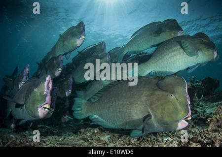 Una scuola di humphead pesci pappagallo, Malaysia Sipdan isola (Bolbometopon muricatum) Immagini Stock
