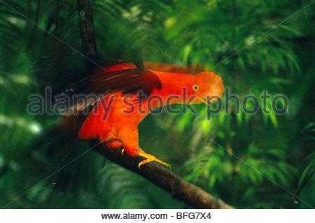 Rubinetto andina di roccia visualizzando maschio, Rupicola peruviana, Perù Immagini Stock