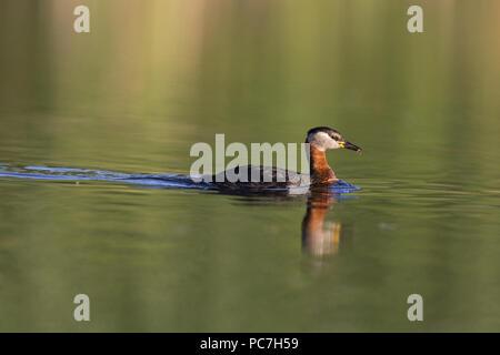Red-Necked svasso (Podiceps grisegena) adulto, allevamento del piumaggio, nuoto, con la preda nel becco, il Delta del Danubio, Romania, Giugno Immagini Stock