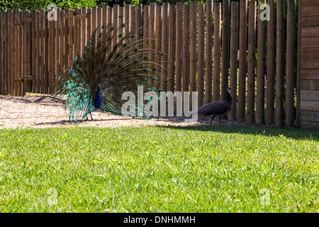 Maschio peafowl indiano (Pavo cristatus) visualizzazione del piumaggio, allo Zoo di Barcellona, Barcellona, in Catalogna, Spagna Immagini Stock