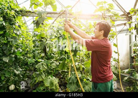 Agricoltore lavora in serra Immagini Stock