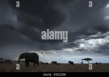 Gli elefanti e nuvole di tempesta, Tanzania (Loxodonta africana) Immagini Stock