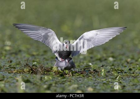 Mignattino piombato (Chlidonias hybrida) estate piumaggio adulto coppia coniugata sul nido tra vegetazione acquatica, il Delta del Danubio, Romania, Giugno Immagini Stock