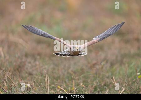 Comune di gheppio (Falco tinnunculus) maschio adulto, volare, Suffolk, Inghilterra, Novembre, oggetto controllato Immagini Stock