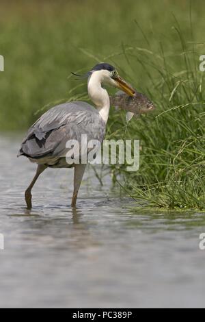 Airone cinerino (Ardea cinerea) adulto, allevamento del piumaggio, in piedi nel laghetto con pesci pugnalato sul becco, Hortobagy N.P., Ungheria, può Immagini Stock