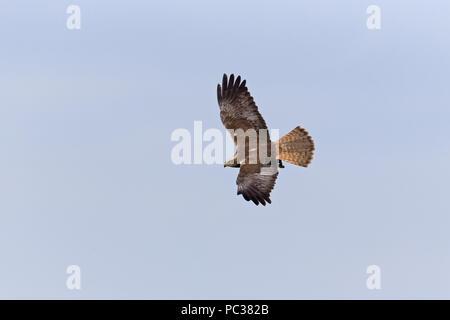 Western Marsh Harrier (Circus aeruginosus) sub-maschio adulto, volare, Suffolk, Inghilterra, Regno Unito, Aprile Immagini Stock