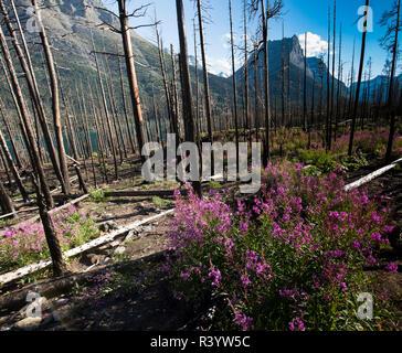 Il Parco Nazionale di Glacier, Montana. Di fiori alpini Immagini Stock