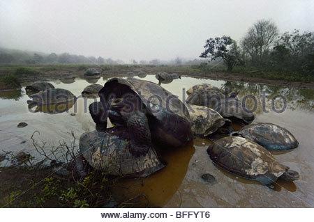 Tartarughe Giganti coniugata, Geochelone nigra, Vulcano Alcedo, Isabela Island, Isole Galapagos Immagini Stock