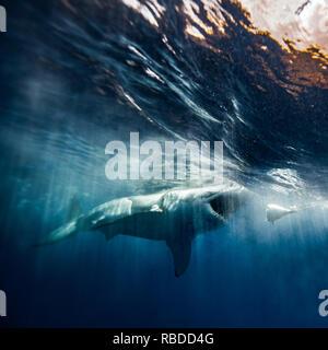 Isola di Guadalupe, in Messico: un grande squalo bianco macchiato durante una spedizione di immersioni in Guadalupe isola al largo delle coste del Messico. Un grande squalo bianco è stato catturato guardando verso la lente di un fotografo inglese la telecamera subacquea e per mostrare il suo enorme di una tonnellata di costruire e 300 affilati denti. Un'altra immagine mostra la grande bianco violare come morde un pezzo di esche, evidenziando la potenza di questi incredibili predatori del mare. Il predatore può anche essere visibile appena sotto la superficie dell'acqua increspata, fin immerso nel classico ganasce pongono. Euan Rannachan / www.mediadrumworld.com Immagini Stock