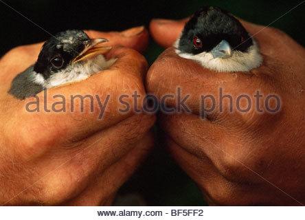 Rufous vanga detenute da western e mani malgascio, Schetba rufa, Madagascar Immagini Stock